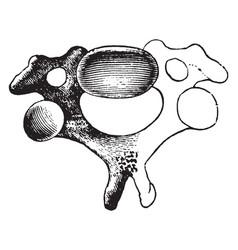 A cervical vertebra vintage vector