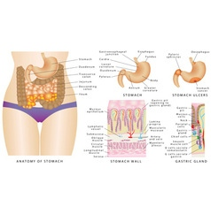 Stomach anatomy vector image