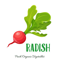 radish vegetable vector image vector image