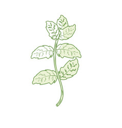 Silhouette peppermint plant ingredient to vector