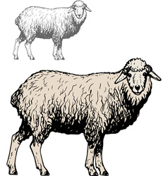 Domestic sheep vector image