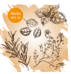 background sketch basil thyme rosemary vector image