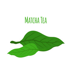 Matcha tea leaves - natural organic plant flat vector