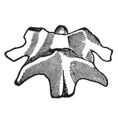 Upper two vertebrae vintage vector