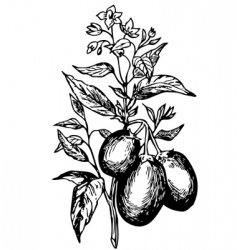 pepino solanum muricatum vector image