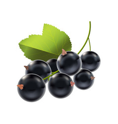 Realistic detailed ripe black berry currant vector