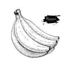 Banana bunch drawing isolated hand drawn vector