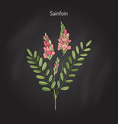 common sainfoin onobrychis viciifolia vector image