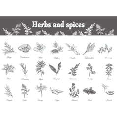 Herbs and spices set hand drawn officinale vector