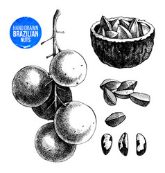 hand drawn brazil nuts vector image vector image