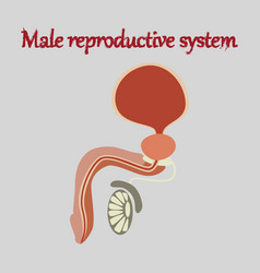 human organ icon in flat style male reproductive vector image