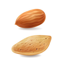 Almonds nuts with shell isolated realistic vector