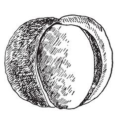 Buckeye fruit vintage vector