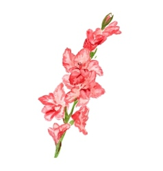gladiolus vector image vector image