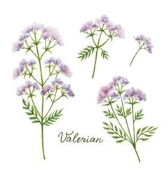 Watercolor of valerian vector