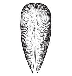 Dorsal view of gastrochaena vintage vector