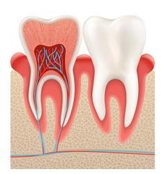 Tooth anatomy closeup cut away eps 10 vector