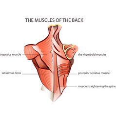 muscules of the back vector image vector image
