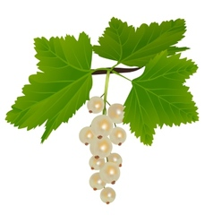 White currants vector