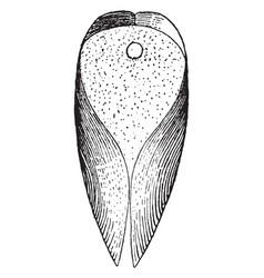 Ventral view of gastrochaena vintage vector