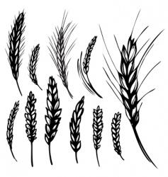 rye wheat vector image
