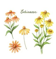 Watercolor of echinacea vector