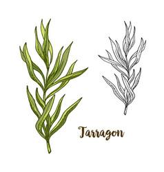 color realistic sketch of tarragon vector image