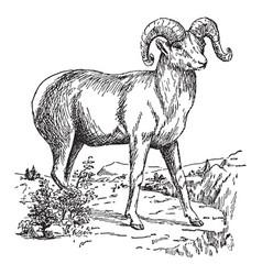 Bighorn sheep vintage vector