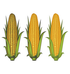 Corncobs with yellow corns and green leaves vector