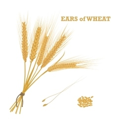 Ears of wheat tied with twine and a handful of vector