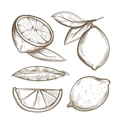 Hand drawn lemons with branch lemon blossom vector image