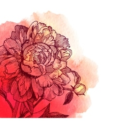 Ink drawn peony on red watercolor vector
