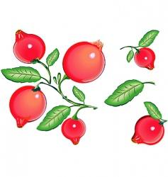 cranberries vector image