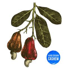 Hand drawn cashew tree branch vector