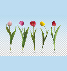 set tulip flowers vector image