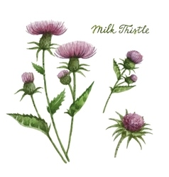 Watercolor of milk thistle vector
