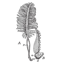Colony of pennatula phosphorea vintage vector
