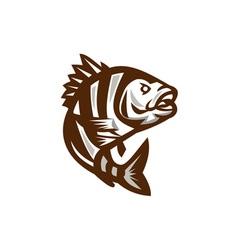Sheepshead fish jumping isolated retro vector
