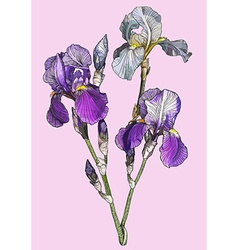 Sketch of a branch of blooming irises vector