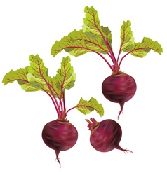 Vegetable beet isolated on white background vector