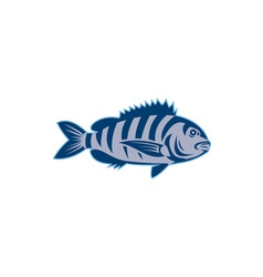 Sheepshead fish isolated retro vector