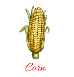Corn vegetable isolated sketch icon vector