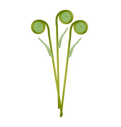 Fresh green fiddleheads on a white background vector