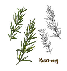 Color realistic sketch of rosemary vector