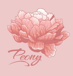 creamy peonyisolated peony single peony vector image vector image