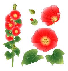 alcea rosea - hollyhocks aoi in the mallow family vector image vector image