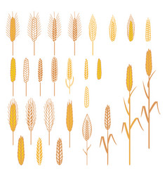 Ears of cereals plants set vector