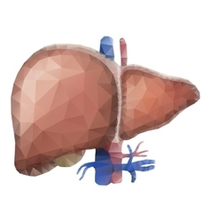 Watercolor anatomy collection - liver vector