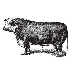 Hereford bull vintage vector