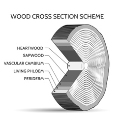 Wood cross section scheme vector